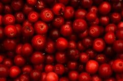 Rojo maduro fresco del arándano con la baya del bosque Fotos de archivo libres de regalías