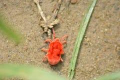` Rojo minúsculo del ácaro del trébol del ` en Kangra Himachal Pradesh Imagen de archivo