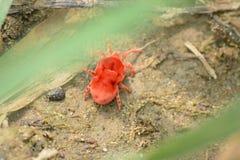 ` Rojo minúsculo del ácaro del trébol del ` en Kangra Himachal Pradesh Imágenes de archivo libres de regalías