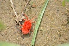 ` Rojo minúsculo del ácaro del trébol del ` en Kangra Himachal Pradesh Imagenes de archivo