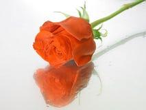 Rojo moje color de rosa con gotas del agua Imágenes de archivo libres de regalías