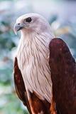 Rojo-movió hacia atrás el Mar-águila Fotos de archivo