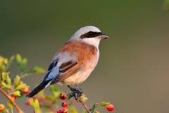 Rojo-movió hacia atrás Shrike (el collurio del Lanius) Foto de archivo libre de regalías