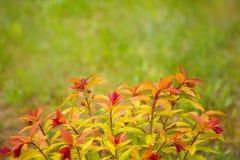 Rojo natural - textura amarilla de la hoja Imagenes de archivo