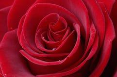 Rojo oscuro se levantó Fotografía de archivo
