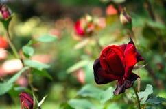 Rojo oscuro se levantó Fotografía de archivo libre de regalías