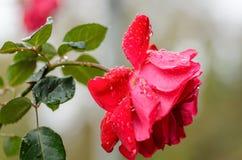 Rojo oscuro subió con gotas de lluvia Foto de archivo