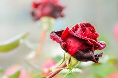 Rojo oscuro subió con gotas de lluvia Imagenes de archivo
