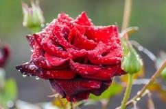 Rojo oscuro subió con gotas de lluvia Fotos de archivo