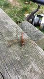 Rojo principal grande de la mosca del drangon Foto de archivo libre de regalías