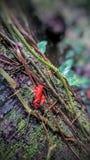 Rojo Rana Στοκ εικόνες με δικαίωμα ελεύθερης χρήσης