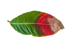 Rojo sucio, verde, hoja de Brown aislada en el fondo blanco Imagen de archivo libre de regalías