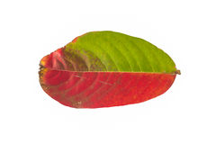 Rojo sucio, verde, hoja de Brown aislada en el fondo blanco Fotos de archivo libres de regalías