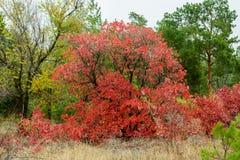 Rojo, un arbusto enorme en un bosque mezclado Imágenes de archivo libres de regalías