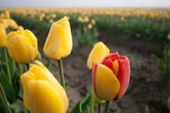 Rojo y amarillo Foto de archivo libre de regalías