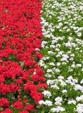 Rojo y blanco del macizo de flores Imagen de archivo libre de regalías