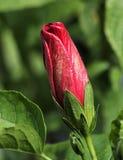 Rojo y brote del hibisco del oro Foto de archivo libre de regalías