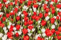 Rojo y con primavera floreciente de la cama de los tulipanes Imagenes de archivo