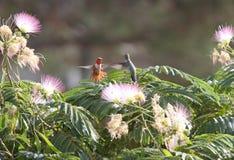 Rojo y Grey Hovering Humming Bird Moth fotos de archivo