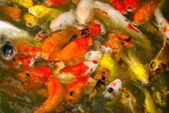 Rojo y pescados del oro sobre el agua Foto de archivo libre de regalías