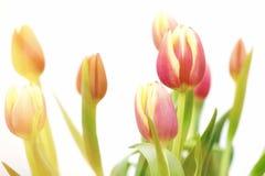 Rojo y tulipanes de las naranjas Fotografía de archivo