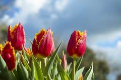 Rojo y tulipanes del oro imágenes de archivo libres de regalías