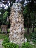 100 rok drzewo Obraz Stock
