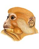 Rok małpa ilustracji