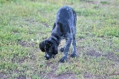 2018 rok pies Łowieckiego psa trakenu Niemiecki Wirehaired pointer obrazy royalty free