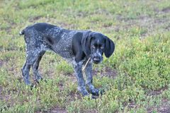 2018 rok pies Łowieckiego psa trakenu Niemiecki Wirehaired pointer zdjęcia stock