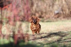 Rok Psi pojęcie Mężczyzna najlepszy przyjaciel Longhair jamnika pies outside z kopii przestrzenią Chiński nowy rok pies jamnik Zdjęcia Stock