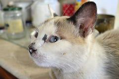 Rokerige kat met blauwe ogen Royalty-vrije Stock Foto's