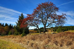 Rokyta, Tree, Autumn, Sumava, Boemerwald, Czech Republic Royalty Free Stock Photo