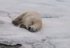 Rolamento adulto do urso polar no gelo marinho, Svalbard imagens de stock