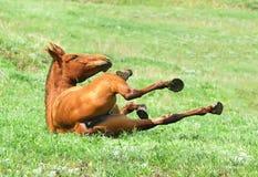 Rolamento da égua da castanha na grama no pasto Imagens de Stock