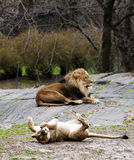 Rolamento da leoa para o leão Foto de Stock Royalty Free
