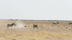 Rolamento da zebra no banho branco empoeirado da areia e da tomada na poeira, Namíbia Elefante africano velho Bull vídeos de arquivo