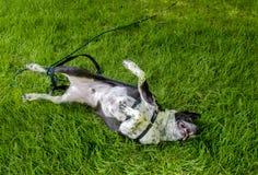 Rolamento do cão na êxtase foto de stock