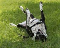 Rolamento do cão na êxtase e na grama foto de stock