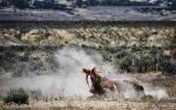 Rolamento do cavalo selvagem de bacia de lavagem da areia Imagem de Stock