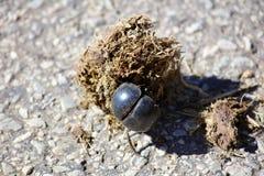 Rolamento Dung Beetle Imagens de Stock Royalty Free