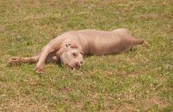 Rolamento feliz do cão na grama imagens de stock royalty free