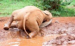 Rolamento novo do elefante na lama Foto de Stock