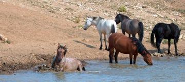 Rolamento Roan vermelho do garanhão na água com o rebanho de cavalos selvagens na escala do cavalo selvagem das montanhas de Pryo Fotos de Stock Royalty Free