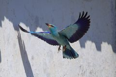 Rolieiro-Europeu, Coracias garrulus afryka?ski bluebird zdjęcie stock