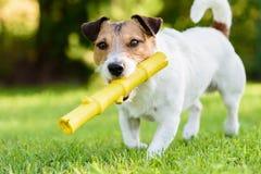 Rolig älsklings- hund som spelar med den gula pinneleksaken på bakgården Royaltyfri Fotografi