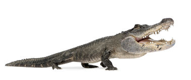 rolig alligator Royaltyfria Foton