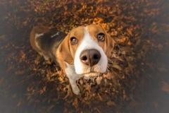 Rolig beaglehund Arkivbild