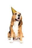 Rolig beaglehund i guld- partihatt Arkivfoton