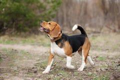 Rolig beaglehundspring Royaltyfri Fotografi